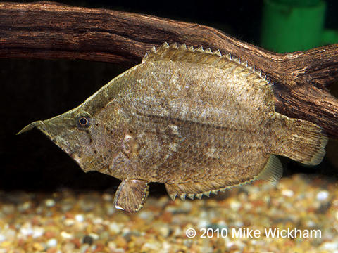 Amazon Leaf Fish