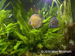 discus_planted_tank