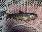 We accidentally caught a young trout in one run of the seine, and quickly released him.